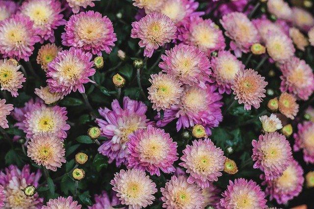 růžová chryzantéma