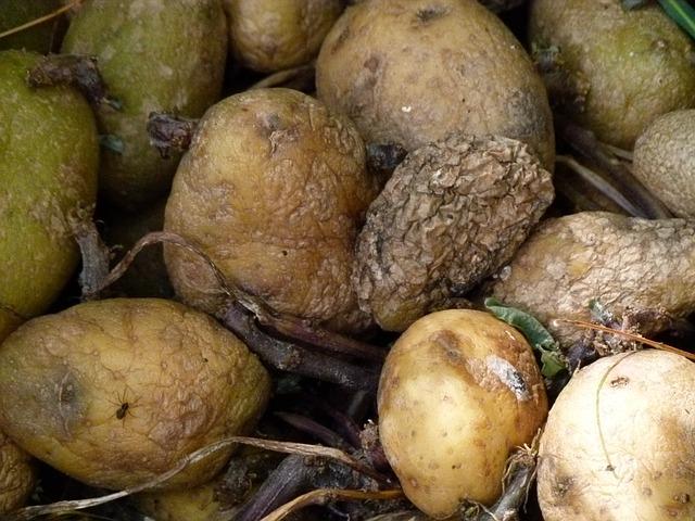 hnijící brambory