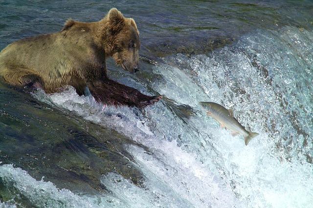 medvěd kodiak.jpg