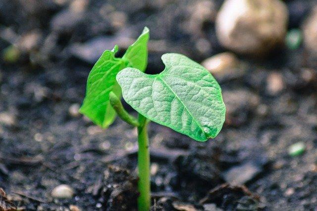 zasazená rostlinka