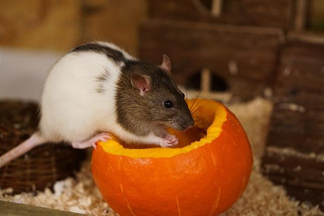 potkan na dýni