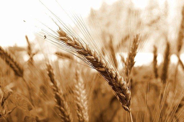 Účinek a aplikace oleje z pšeničných klíčků